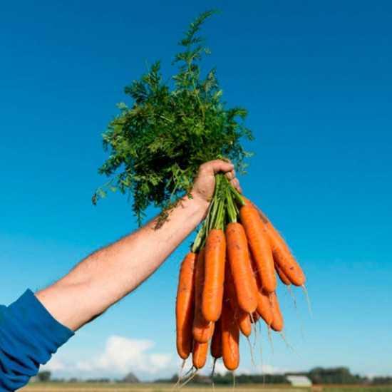 Sementes de Cenoura Namdal...
