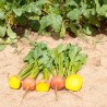 Sementes de Beterraba Amarela Boldor STQ 25.000 sementes - Bejo Sementes