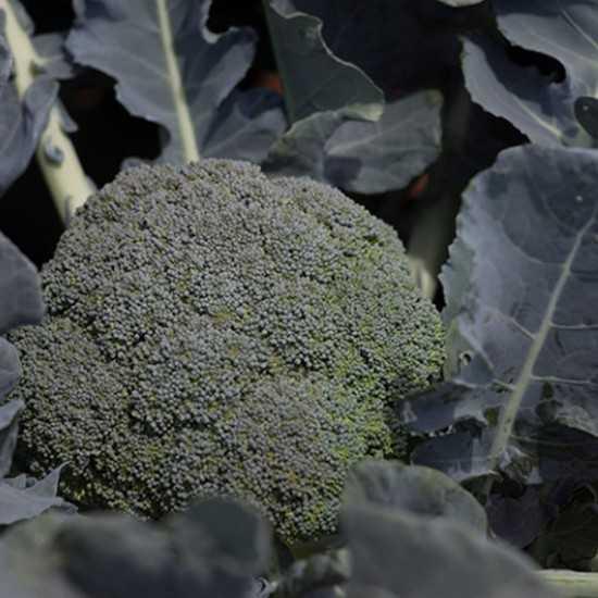 Sementes de Brócolis Burney...