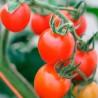 Sementes de Tomate Montain Magic STQ 1.000 sementes - Bejo Sementes
